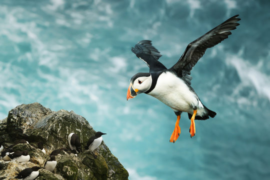 Close up of Atlantic puffin in flight