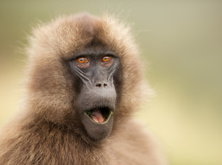 Photo sur Plexiglas Singe Close up of a surprised female Gelada monkey