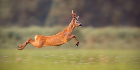 Roe deer buck, capreolus capreolus, sprinting fast in summer. Wild animal running. Energetic movement of deer in wilderness with copy space.