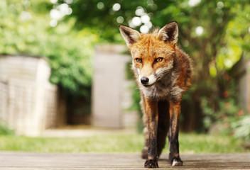 Red fox in the garden in summer