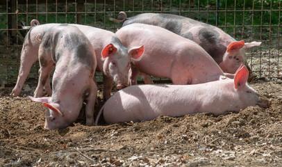 Glückliche Freilandschweine wühlen im Dreck