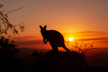 silhouette of a Kangaroo on a rock with a beautiful sunset in the background. The animal is looking towards camera. Queensland, Australia