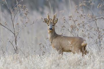 Western Roe Deer (Capreolus capreolus) in Wintertime, Roebuck, Germany, Europe
