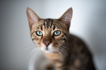 young bengal cat looking curiously at the camera. portrait with shallow depth of field