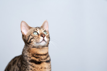 studio portrait of a young bengal cat looking up in front of white background
