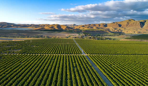 Olive Plantation in Bakersfield, California.