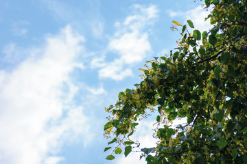 linden blossom background on the blue sky. part of the longest linden alley in europe.