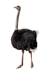 Tuinposter Struisvogel african ostrich isolated on white
