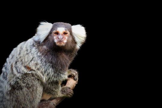 marmoset monkey and black  background