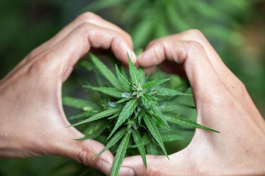 Woman's hand holding a young growing cannabis marijuana leaf inside a green house. Marijuana care concept