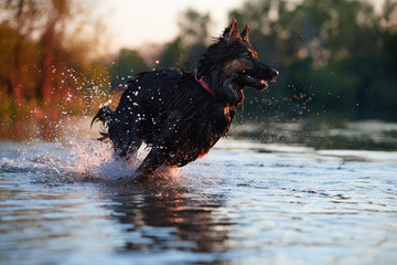 Dog trained for rescue life in deep water, running fast in deep splashing water in colorful evening light. Bohemian shepherd, purebred. Low angle photo, side view. Dog breed native to Czech republic.