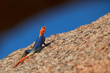 Orange and blue colored lizard, Namib rock agama, Agama planiceps, male posing on yellow granite rock against blue sky in typical desert environment. Isolated colorful agama, Spitzkoppe, Namibia.