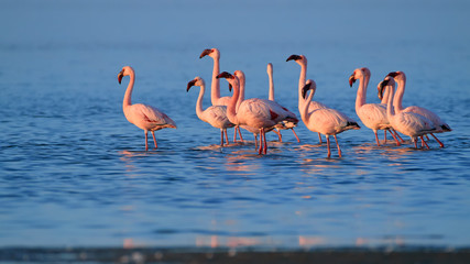 Bright pink african water birds, Lesser Flamingos, Phoenicoparrus minor, walking in the shallow water during low tide on the shore of Walvis Bay, Namibia. Pink flamingos in the water, low angle photo.