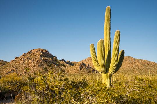 A large saguaro cactus dominates this arid Sonoran desert landscape