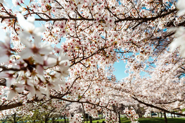 Cherry trees flowering at spring, Strasbourg, Alsace