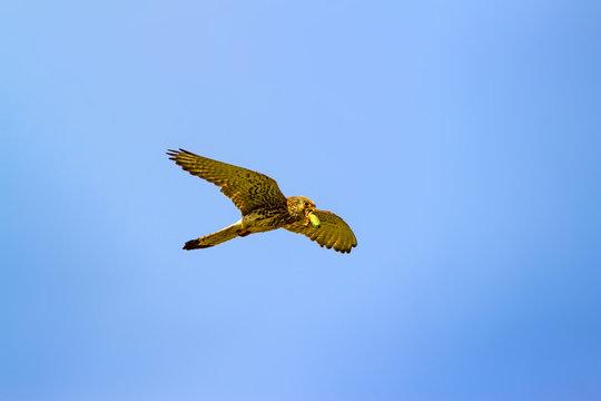 Flying falcon. Blue sky background. Falcon: Lesser kestrel.