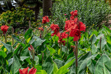 Close-up of bright red flowers of blossom canna lilies. Selective focus with shallow DOF.