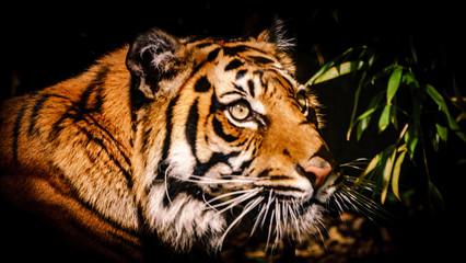 Tygrys, tiger