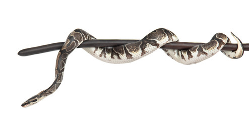 Royal Python, or Ball Python (Python regius) on a dry stick. isolated on white background