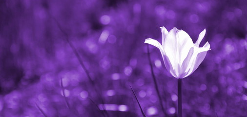 Abstrakt - Tulpe vor farbigen Hintergrund Fotoväggar