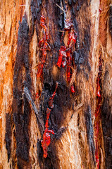 Bloody red kino on Corymbia opaca tree (also known as the desert bloodwood) - native tree to Australia (Marco)