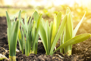 Papiers peints Narcisse Young Narcissus buds sprout