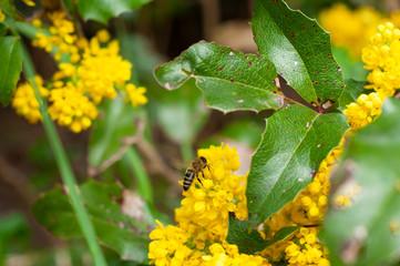 Obraz pszczoła zbierająca nektar - fototapety do salonu