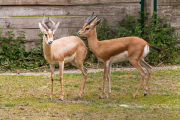 Garden Poster Antelope antilope