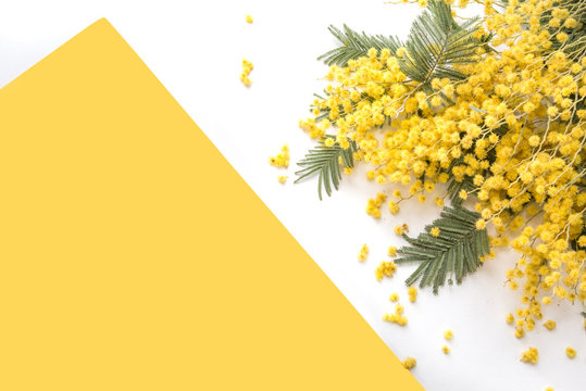 Brunches of beautiful Mimosa flower on yellow background
