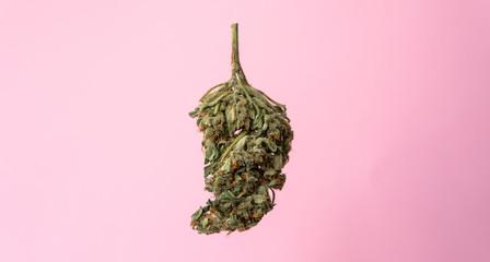 isolated marijuana bud on a pink background.medical marijuana concept for social media Fotobehang