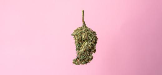 isolated marijuana bud on a pink background.medical marijuana concept for social media