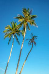 Photo sur Plexiglas Palmier Palm trees on blue sky background