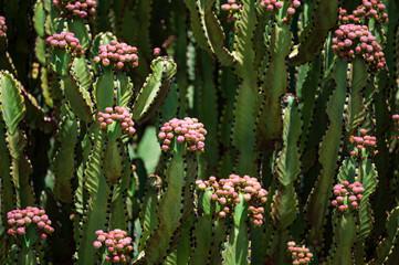 Kanarische Kandelaberwolfsmilch (Euphorbia canarensis)