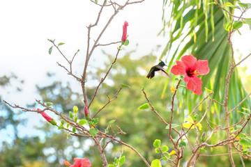Colibri qui butine un ibiscus en Guadeloupe