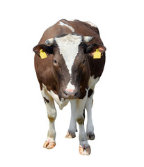 Brown cow isolated on white. Funny spotted cow full length.