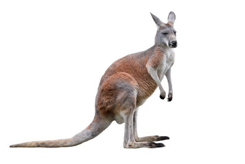 Foto op Plexiglas Kangoeroe Male kangaroo isolated on white background. Big kangaroo full lengths.
