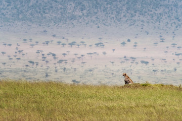 Cheetah in the grass of the Masai Mara Wall mural