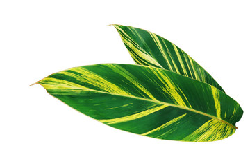 Wall Mural - Green and yellow leaves nature pattern of variegated ginger or shell ginger (Alpinia zerumbet variegata) tropical foliage plant isolated on white background, clipping path included.