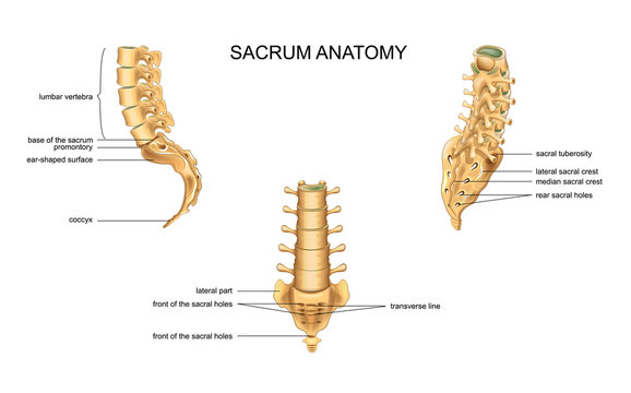 anatomy of the sacrum and lumbar vertebrae