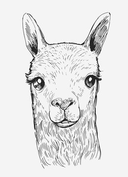 Llama's head. Нand drawn outline converted to vector.