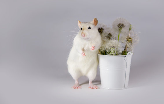 Decorative rat Dumbo stands next to a bucket of dandelions.   White mouse with black eyes.