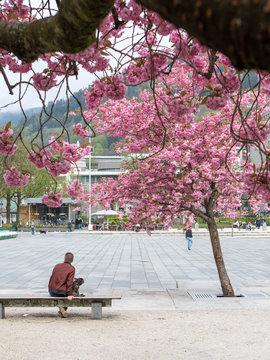 Cherry blossom in Bergen