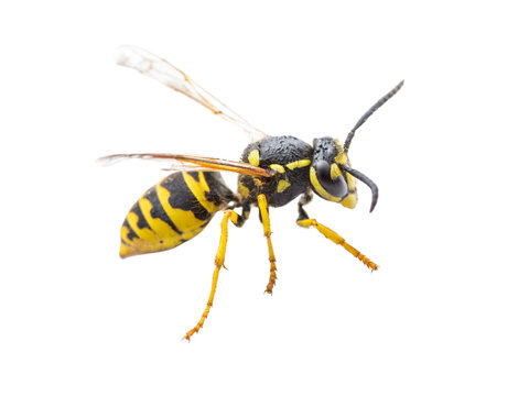 Yellow Jacket Wasp Insect Isolated on White Background