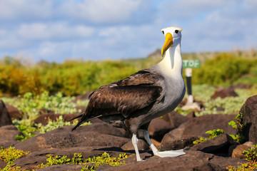 Waved albatross on Espanola Island, Galapagos National park, Ecuador