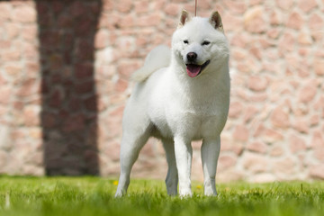 Wall Mural - hokkaido dog for a walk