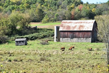 Cows by Old Barn
