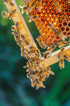 honey bees on honeycomb in apiary in late summertime
