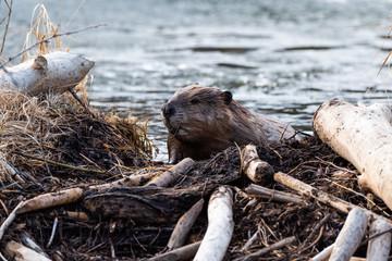 A large castor canadensis beaver climbing on dam
