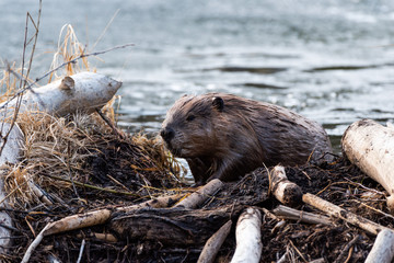 A large beaver climbing out of beaver pond