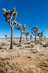 Fototapete - Group of Joshua Trees in Open Desert Vertical